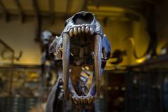 Je mords ! (StephanExposE) Tags: paris iledefrance france stephanexpose canon 600d 1635mm 1635mmf28liiusm musée museum paléontologie os bone dinosaure jardindesplantes