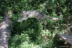 Panthère des neiges (Passion Animaux & Photos) Tags: panthere neiges once snow leopard panthera uncia parc animalier auvergne france