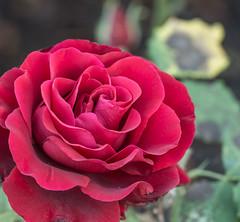 Just what you need. (Omygodtom) Tags: red rose bokeh tamron90mm usgs flickriver flower outside urbunnature salt pepper dof