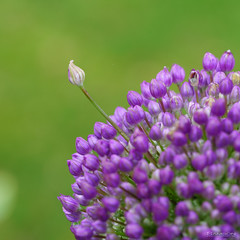 Violet et Vert (guysamsonphoto) Tags: guysamson sonyalpha7rmkiii sony90mmf28macro macro macrophotographie fleur flower