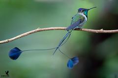 The Many Sides of Marvellous (Osprey-Ian) Tags: huembo peru marvellousspatuletail
