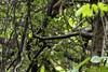 20180602-0I7A6308 (siddharthx) Tags: 7dmkii ananthagiri ananthagiriforest ananthagiriforestrange bird birdwatching birding birdsinthewild birdsofindia birdsoftelangana canon canon7dmkii cottoncarrierg3 ef100400f4556isii ef100400mmf4556lisiiusm forest goldenhour jungle landscape monsoon muddy nature rain rains telangana tree trees vikarabad wet wild wildbirds wildlife india in whitebrowedbulbul bulbul