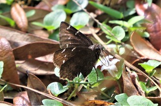 Thorybes pylades --  Northern Cloudywing Skipper 7081