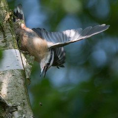 Oh Shit!! (Narrow escape...) (Hans Kool) Tags: sitta europaea boomklever nuthatch vogel bird narrow escape worm rups boom tree