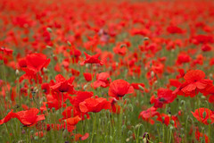 Poppy Fields (Adam Swaine) Tags: commonpoppy poppies darentvalley flora flowers wildflowers kent kentishlandscapes england english englishlandscapes beautiful uk ukcounties counties countryside britain british petals reds fields canon