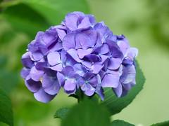 Blue Bayou... P1240817 2 ( RêveOcéanOceanDream) Tags: hortensia bleu mauve blue hydrangea jardin vert green garden bluebayou nantes bretagne brittany naoned manine rêveocéanoceandream fleur flower flor jardindesplantes