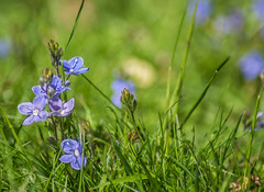 IMG_5460 (lauraknowles4) Tags: field flower garden grass canon tamron 70300mm flowers blue
