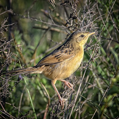 small bird series: tawny grassbird #2 (Fat Burns ☮) Tags: megalurustimoriensisbird australianbird fauna australianfauna nikond500 smallbird oxleycreekcommon outdoors sigma150600mmf563dgoshsmsports tawnygrassbird