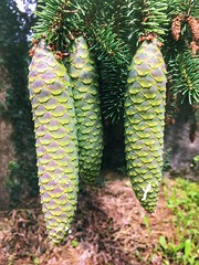 Renouveau (LUMEN SCRIPT) Tags: closeup tree pine green nature
