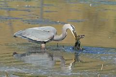 06192018Blue Heron FU5A5663 (Steven Arvid Gerde) Tags: blue heron