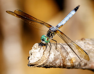 Dragonfly...Up Close