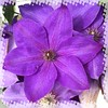 Single clematis in halftone frame (mohuski) Tags: natureplus halftoneframe clematis flower
