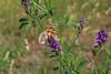 Vanessa cardui (Carla@) Tags: vanessacardui nymphalidae farfalle butterflies lepidotteri wildlife nature liguria italia europa mfcc canon alittlebeauty coth thesunshinegroup coth5 sunrays5 ngc