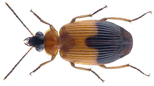 Lebia melanura Dejean, 1831