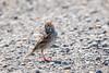 "Savannah Sparrow (Catherine ""Cat"" Rose) Tags: 2018 june ridgefieldnationalwildliferefuge savannah sparrow"