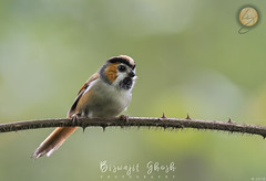Black-throated parrotbill  (Suthora nipalensis) (Biswajit Ghosh'76) Tags: ngc bird cute smallbird avian parrotbill