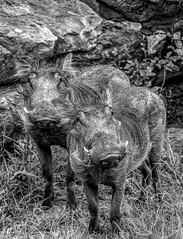 "Warthog says ""I'm the cute one!"" (Pejasar) Tags: warthogs mammals tulsazoo tulsa oklahoma hair ugly blackandwhite bw zoosofnorthamerica"