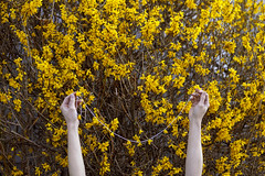 Be Like the Little Yellow Flowers (Miss Marisa Renee) Tags: marisarenee digital canon canon5dmarkii colorado spring spring2018 april april2018 2018 yellow yellowflowers flowers blossoms floral string strung creative fineartphotography photoset photoseries monochrome hands minimal simple bush background