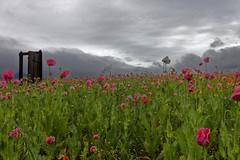 Germerode (Holgi_BS_63) Tags: hessen germerode meissner kassel mohnblüte