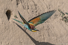 Adult Bee-eater in flight just leaving the nest. (Ciminus) Tags: europeanbeeeater naturesubjects nikon ornitologia nature ciminus birds ciminodelbufalo gruccione uccelli nikond500 oiseaux wildlife meropsapiaster afsnikkor500mmf4gedvr aves ornitology coth specanimal coth5