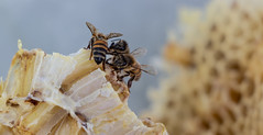 Bees Eating Honey (Niki Bitsch Børstrøm Hansen) Tags: bees bee honey nature insect food life working building hive