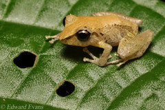 Pygmy rain frog (Pristimantis ridens) (edward.evans) Tags: riosanjuanrobberfrog pygmyrainfrog pristimantisridens eleutherodactylusridens eleutherodactylidae anura eleutherodactylus costaricanamphibianresearchcentre crarc siquirres costarica wildlife nature macro frog amphibian rana herp herping