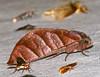 Notodontid Moth (Hapigia nodicornis) (berniedup) Tags: belizon roura guyane notodontidae moth hapigianodicornis taxonomy:binomial=hapigianodicornis