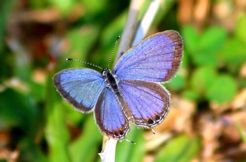 IMG_2247/Thailand/Koh Samui Island/Everès Lacturnus Riléyi/Male/Recto/Very small Butterfly/