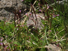 alpine willowherb, Epilobium anagallidifolium (Jim Morefield) Tags: bishop california unitedstates onagraceae eveningprimrosefamily epilobium epilobiumanagallidifolium angiosperm dicot plant flowers flower blossom bloom wfgna flora wildflower wildflowers cnpsok alpinewillowherb alpine streambank wetland northamerica wilderness monocounty whitemountains mcafeemeadow mcafeecreek greatbasin whitemountainswilderness inyonationalforest mcafeemeadowrna whitemountainscientificarea eswild july summer olympus evolt e510 olympuse510 jdm20162438 taxonomy:family=onagraceae taxonomy:genus=epilobium taxonomy:binomial=epilobiumanagallidifolium taxonomy:common=alpinewillowherb geo:alt=3578m pink 4petals longcluster