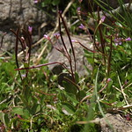 alpine willowherb, Epilobium anagallidifolium thumbnail