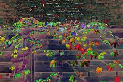 (psychedelic world) Tags: blätter leaves colours colored farben bunt vine kletterpflanze plant pflanze urban dorf village mauer wall palisade herbst autumn fall psychedelisch psychedelic psychedelicworld branches zweige garden garten outdoor