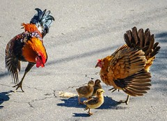 Key West Feast (johndbillig) Tags: cruise explorer keywest florida hen chicks rooster food road family birds