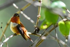 Rufous Hummingbird (Minder Cheng) Tags: lakeanza tildenregionalpark rufoushummingbird berkeley california unitedstates us