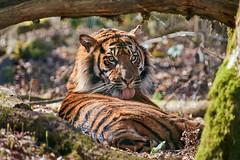 Lustrage (rondoudou87) Tags: tigre tiger tigré nature natur pentax k1 zoo reynou parc park parcdureynou wildlife wild eyes yeux smcpda300mmf40edifsdm sauvage tree arbre forest forêt tongue langue rondoudou87