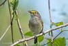 White-Eyed Vireo 500_6664.jpg (Mobile Lynn) Tags: birds whiteeyedvireo nature bird fauna songbird vireogriseus wildlife naples florida unitedstates us coth specanimal coth5 ngc npc