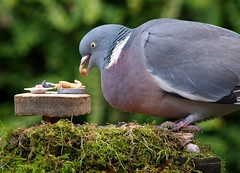 pigeon with table good (1) (Simon Dell Photography) Tags: pigeon garden detail close up large wood shirebrook valley sheffield nature wildlife birds animals spring views sights reserve s12 simon dell photography photos