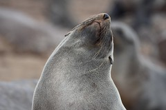 Chill Seal ([dscphoto]) Tags: seal sealion namibia capecross whiskers fur coast shore seals stretch stretching cute