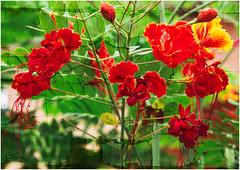 cracks... (kurtwolf303) Tags: cuba flower plant blossoms blüten kuba mft kurtwolf303 olympusem5 omd microfourthirds micro43 systemcamera mirrorlesscamera textur natur nature karibik caribbean colors colours pflanze garden