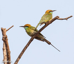 Green Bee Eaters (johnthistle) Tags: india goa pair male female couple canon 100400mm