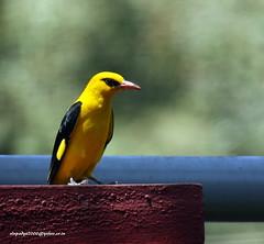 IMG_1706 Indian Golden Oriole (Oriolus kundoo)-Male (vlupadya) Tags: greatnature animal bird aves fauna indianburdsgolden oriole oriolus kundapura karnataka