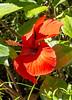 Sun basking Hibiscus (idunbarreid) Tags: hibiscus