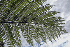 Fern (syf22) Tags: newzealand downunder kiwi rotorua rainbowspringnaturepark tree fern nature plant growth wood silverfern leaf bracken copse bocage gorse hedge scrub shrubbery spinner thicket undergrowth lookup overhead above over cover