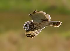 Short-eared owl ( Asio flammeus ) - Dusk hunter !! (Clive Brown 72) Tags: owl dusk backlit inflight hunting quartering sunny coastal shortearedowl