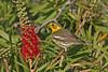 Cape May Warbler (Alan Gutsell) Tags: birds birding alan wildlife nature texasbirds texas migration rarebirds texasrarebirds cape may warbler capemaywarbler migratorybirdtreaty