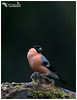 Bullfinch (Pete Walkden) Tags: bullfinch finch garden male birmingham westmidlands