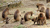 Gelada Baboon  Theropithecus gelada . Happy families (jaytee27) Tags: ethiopia geladababoon theropithecusgelada bleedingheartmonkey naturethroughthelens