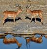 Seeing Double ([dscphoto]) Tags: reflections water wateringhole namibia hilali etosha animals impalas horns