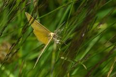 What is the name of this butterfly - Quel est le nom de ce papillon? (Giloustrat) Tags: pentax bokeh k3 vanoise papillon alpes insecte pentaxflickrawar