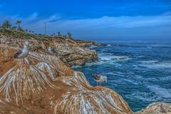 Seagull Bluffs (Michael F. Nyiri) Tags: lajollacove sandiego southerncalifornia beach ocean pacificocean seagulls birds