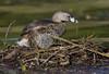 A little tweak (Hockey.Lover) Tags: piedbilledgrebe newark nest